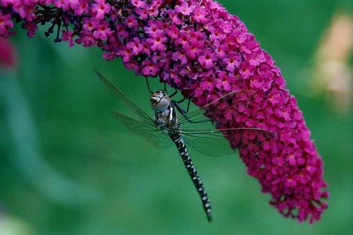 Dragonfly, Nature, Buddleja, Buddleia