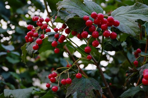 Rowan, Bush, Autumn, Nature, Closeup, Berry, Red