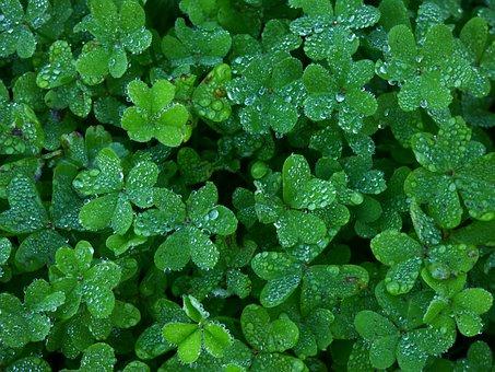 Clover, Garden, Green, Water, Drops, Fresh