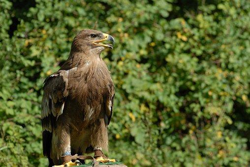 Animal, Bird, Raptor, Feathers, Nature, Freedom, Wild