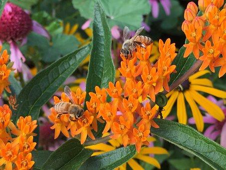 Honey, Bees, Milkweed, Insect, Honeybee, Pollen