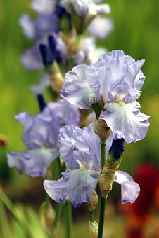 Blue Irises, Flowers, Summer, Iris Garden