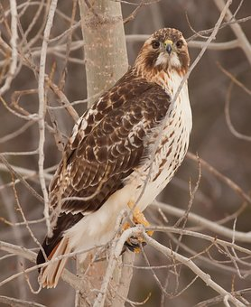 Hawk, Bird, Predator, Raptor, Nature, Animal, Talons