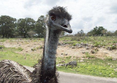 Ostrich, Wild Animal, Animal, Wild, Bird, Wildlife