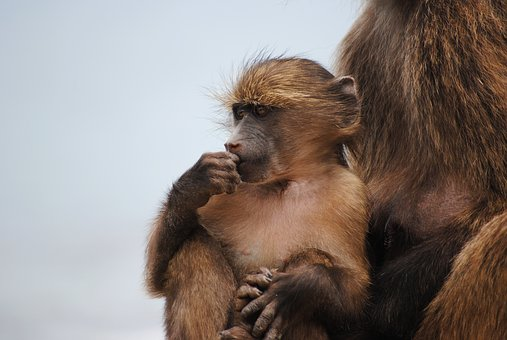 Baby Monkey, Monkey, Cape Town, Africa