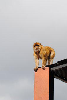 Monkey, Gibraltar, Spain, England, Coast