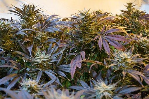 Marijuana, Cannabis, Marihuana, Weed, Ganja, Medicine