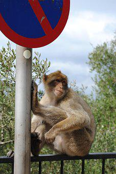 Monkey, Gibraltar, Spain, England, Rock