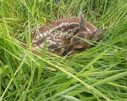 Fawn, Roe Deer, Young, Young Deer, Kitz, Wild, Cute