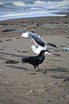 Animal, Sea, Beach, Wave, Sea Gull, Seagull, Seabird