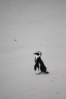 Penguin, Beach, Africa, South Africa, Cape Town