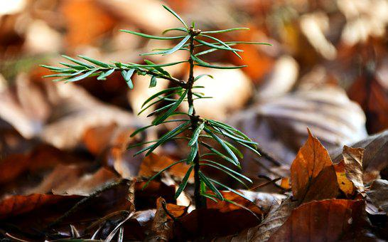 Scion, Conifer, Young, Green, Tree, Needles, Forest