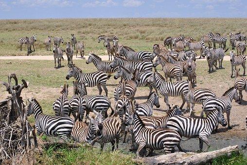 Africa, Tanzania, National Park, Safari, Serengeti