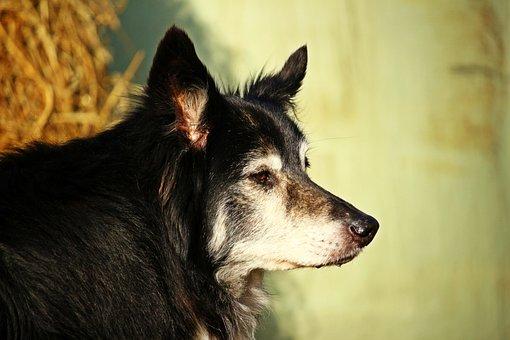 Dog, Border Collie, Herding Dog, Border, Purebred Dog