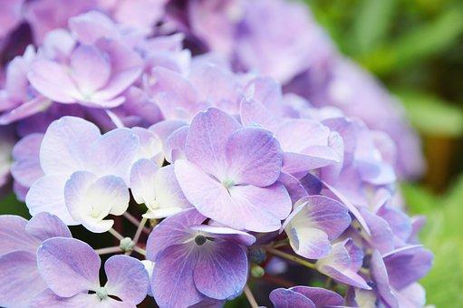 Hydrangea, Purple, Frisch, Alive, Live, Bloom, Blossom