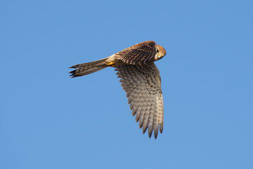 Bird, Raptor, Falcon, Merlin, Flight, Hunting, Nature