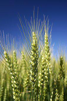 Wheat, Detail, Cereal Grains, Teal, Green, Nature