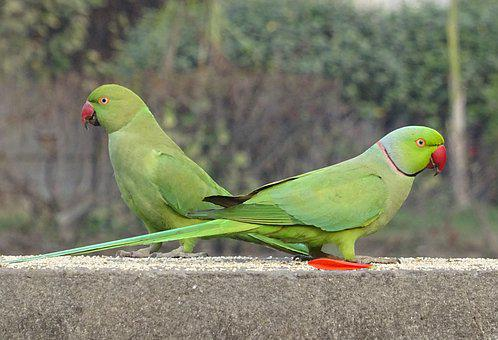 Bird, Parakeet, Green, Tropical, Parrot, Fauna