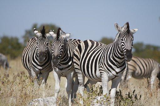 Namibia, Etosha National Park, Zebra, Nature, Wild