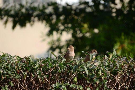 Sparrow, Mláďě, House Sparrow, Bird In The Bush