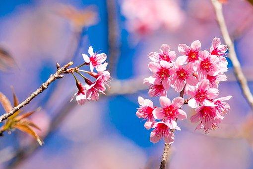 Muangthai Cherry, Tiger Hill, Flowers