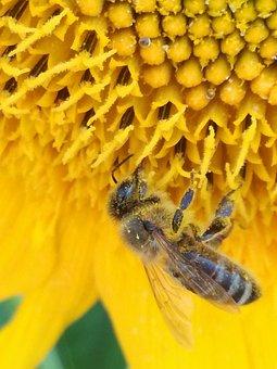 Bee, Summer, Sunflower, Honey, Nature, Garden