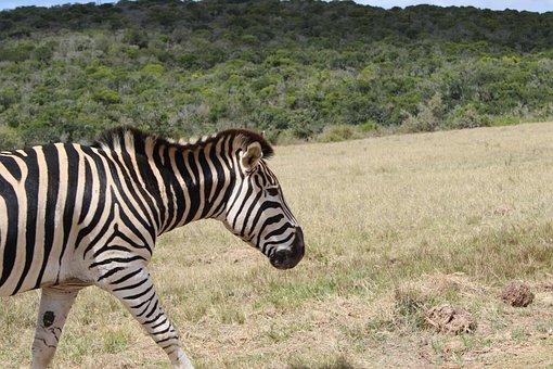 Zebra, African, Mammal, Wild, Animal, Park, National
