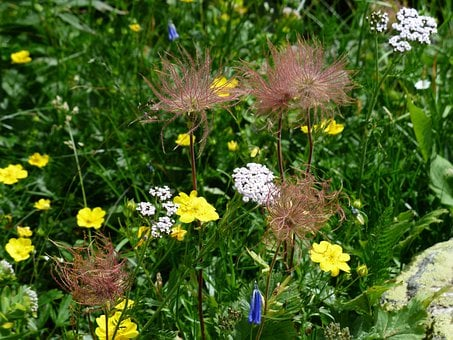 Flower Meadow, Alps Brown, Flower, Blossom, Bloom