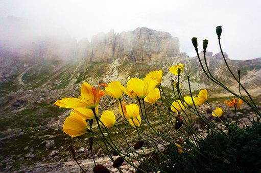 Poppy, Flowers, Mountain, Alps, Dolomites, Nature