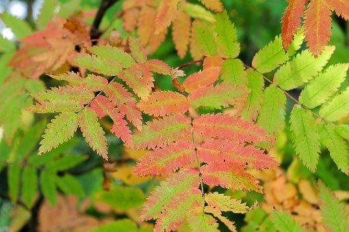 Rowan Tree, Autumn Leaves, Fall, Rowan Berry