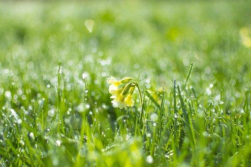 Primula, Grass, Green, The Freshness, Wallpaper, Summer