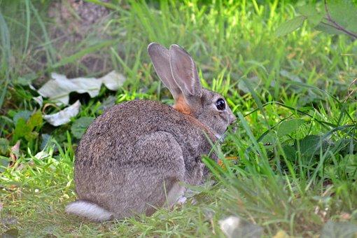 Rabbit, Wild, European, Oryctolagus Cuniculus, Adult