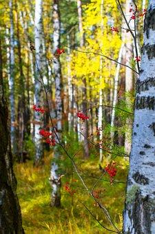 Birch, Rowan, Yellow, Autumn, Forest, Golden Autumn
