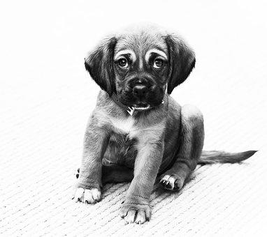 Puppy, Dog, Animal, Portrait, Small Dog, Small Animal