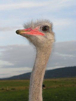 Ostrich, Ave, Head
