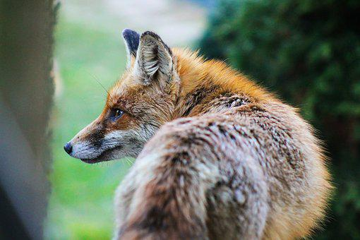Fox, Animal Nature, Beast, French Toast, állatportré