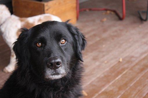 Black Dog, Dog, Black Lab, Newfoundland Dog