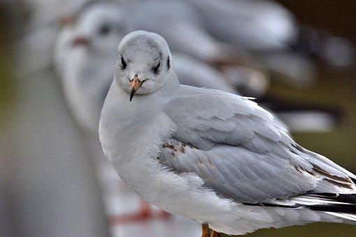 East Frisia, Seagull, Cheeky