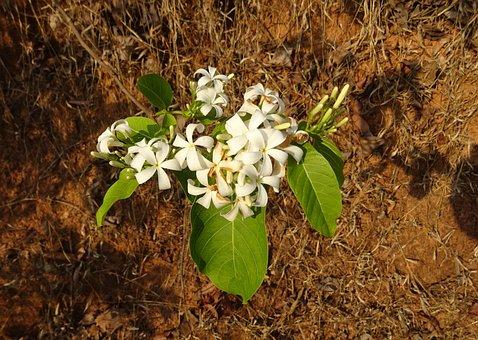Flower, White, Wild, Flora, Indrajao, Medicinal, Shrub