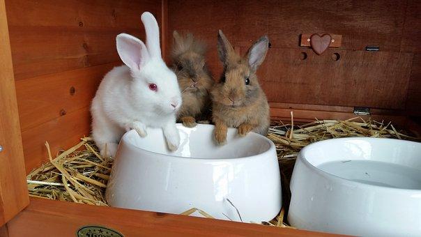 Dwarf Rabbit, Lion Heads, Pet