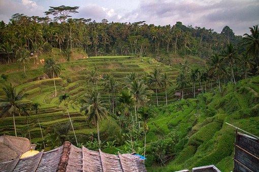 Bali, Rice, Field, Balinese, Terrace