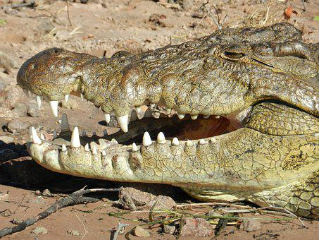 Botswana, Crocodile, Chobe, Africa, Tooth, Safari