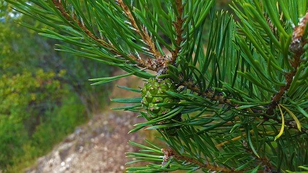 Pine Cones, Pine, Needles, Tap, Tree, Conifer, Close