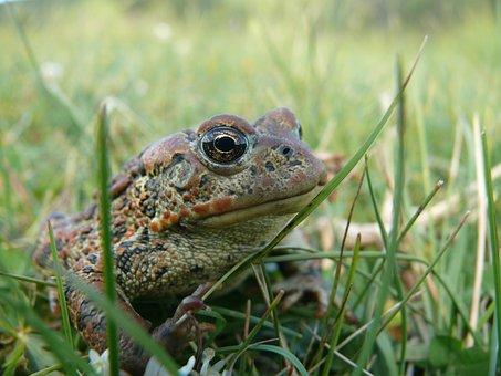 Frog, Animal, Amphibian, Wildlife, Nature