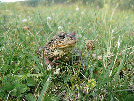 Frog, Wildlife, Amphibian, Rainforest, Animal