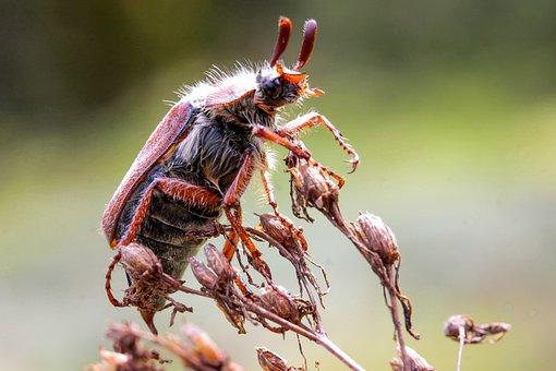 May Bug, Beetle, Animal Insect, Arthropod