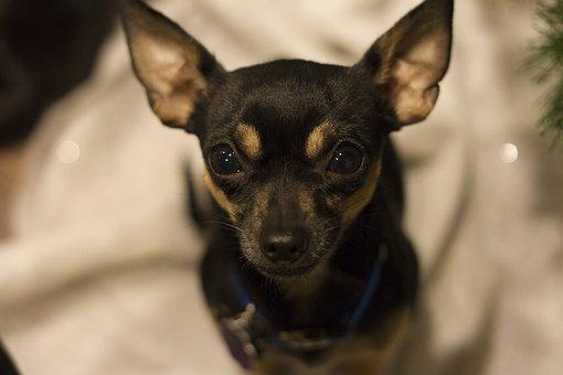 Chihuahua, Black, Tan, Puppy, Dog, Pet, Small, Tiny