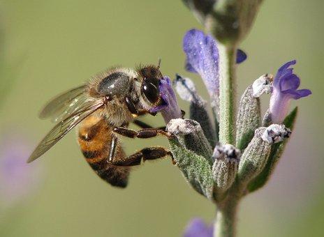 Insect, Bee, Honeybee, Nature, Lavender, Honey-bee