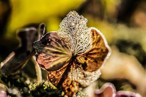 Hydrangea Flower, Broken Flowers, Autumn, Passing Away