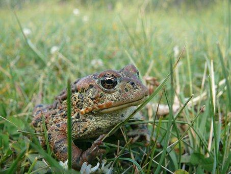 Frog, Animal, Toad, Nature, Jump, Eye, Pet